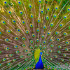 Original Peacock Fine Art Photography By Messagez com