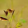 Common crow butterflies
