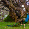 Original Peacock Fine Art Photography 6 By Messagez com