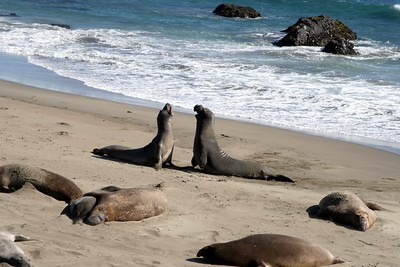 Elephant Seals spring Cambria