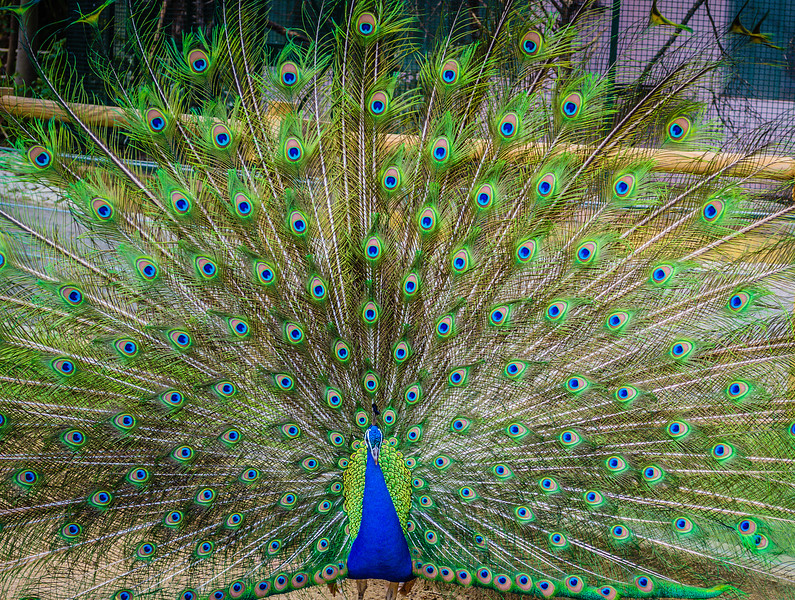 Peacock Photography By Messagez.com