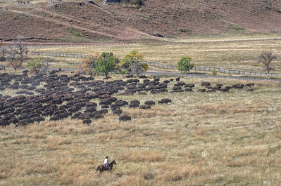Buffalo Roundup Custer State Park, Wyoming