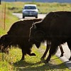 Wild bisons crossing a road in the Grand Teton national park during summers