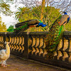 Original Peacock Fine Art Photography 2 By Messagez com