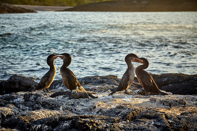 Flightless Cormorants