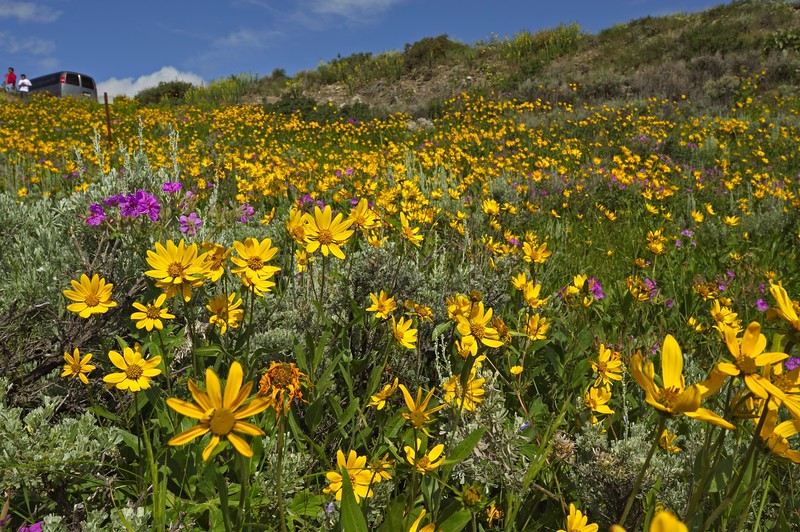 Flowery meadow during the summers in the Lamar valley in Yellowstone national park