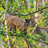 Black Capped or Tufted Capuchin monlkey