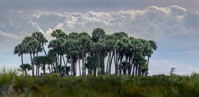 Sabal Palm Hammock Pano