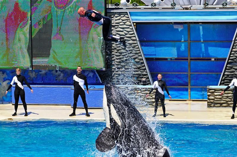 "Killer Whale ""Shamu"" show in the Sea World in San Diego in USA"