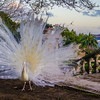 The Original White Peacock Bride Fine Art Photography By Messagez com
