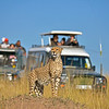 Wild cheetah looking out while standing on a termite mound, with a tourist vehicle in the background, in the grasslands of Masai Mara in Kenya, Africa