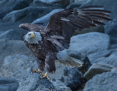 Bald eagle on the shores of Skagway, Alaska