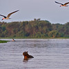 Black skimmers and Capybara on a river