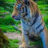 The Special Tiger Image 2 By Messagez.com