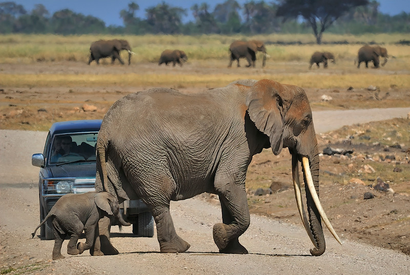Elephants have the right of way in Amboseli National Park, Kenya, East Africa