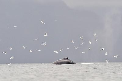 A Humpback Whale feeds in the Prince William Sound, Alaska
