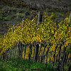 Tuscany vineyard after harvest in October, Italy