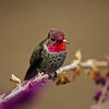 Anna's Hummingbird (Calypte anna) in Southern California, USA