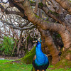 Original Peacock Fine Art Photography 4 By Messagez com