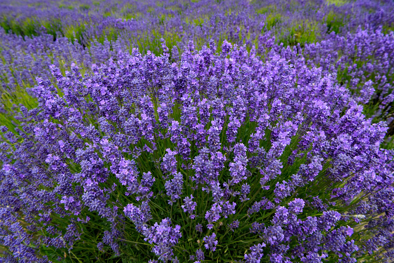Lavender at Lavender Wind Farm on Whidbey Island, Washington State