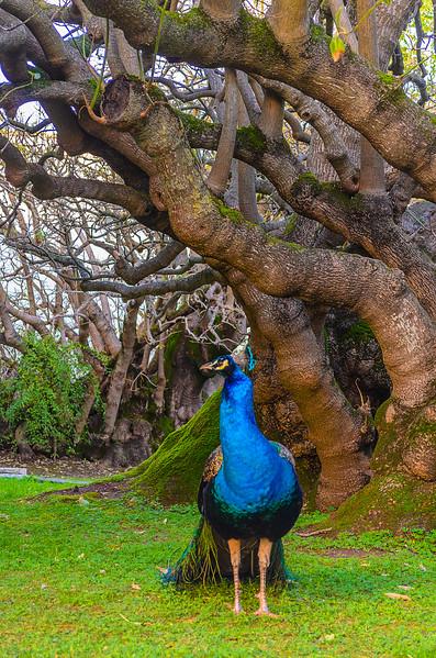 Original Peacock Fine Art Photography 4 By Messagez com
