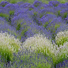 Purple and white Lavender field on Whidbey Island, Washington State