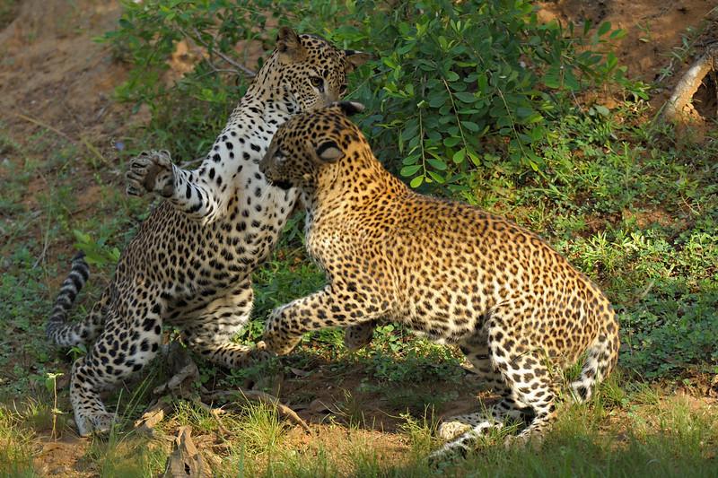 Two Leopards play fighting in Yala national park, Sri Lanka