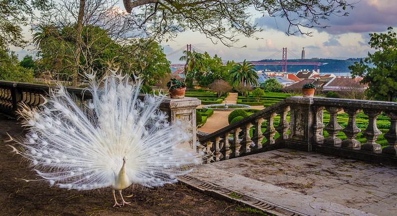The Original White Peacock Bride Fine Art Photography 2 By Messagez com