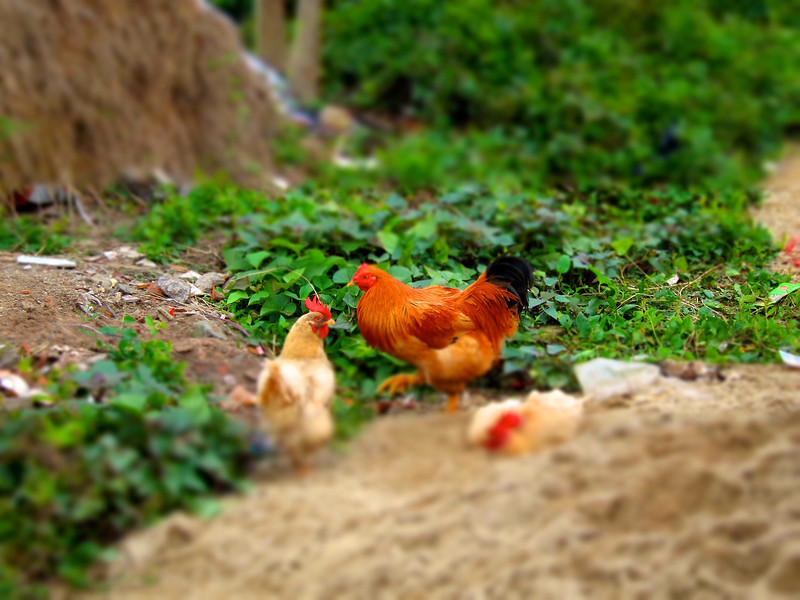 屋外,每日都有呢幾隻雞行過搵食