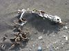 faro bones on beach P1000708
