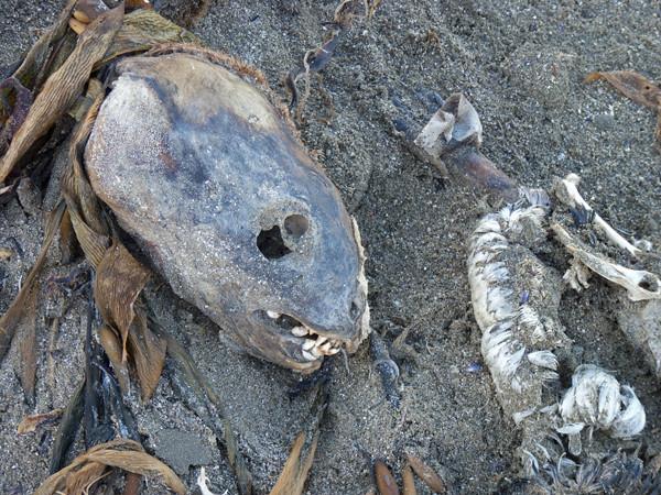skull on beach aat faro P1000741