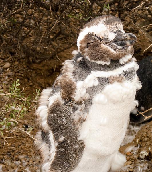 young penguinP1000690