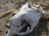 faro skull on beachP1000714