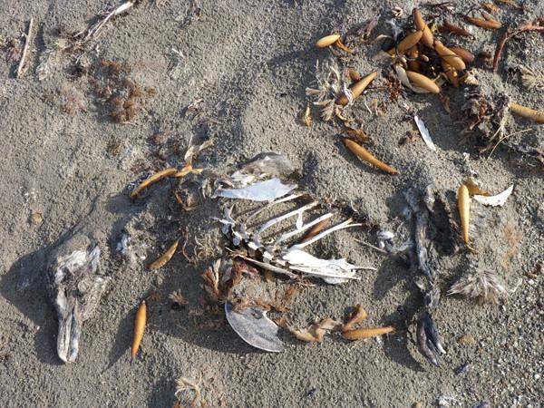 faro dead bird on beach P1000713