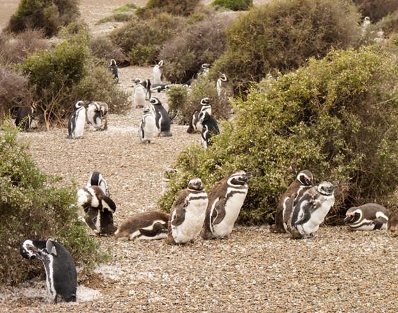 penguin colony P1000688