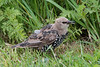 Common starling, Stær, Sturnus vulgaris, Juvenile - first winter, Mandø, Danmark, Aug 2012