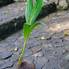 A coconut tree is born