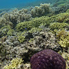 A pin cushion sea star