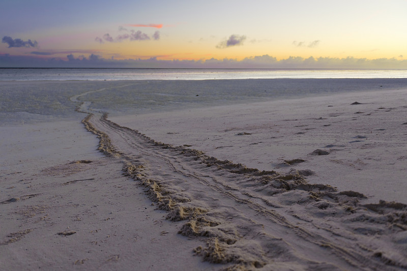The long turtle trail back to the water after laying eggs