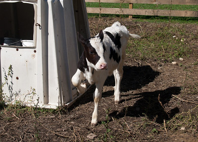 Cute 3 week old calf.