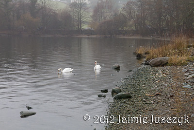 And a closer look at the swans.