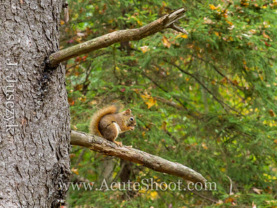 A cute lil red squirrel was not fussed when we walked by.