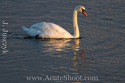 January 2013 A swan at Conimicut Point, Warwick.