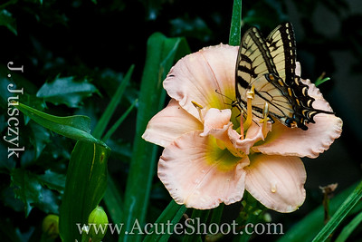 Butterfly on a hibiscus