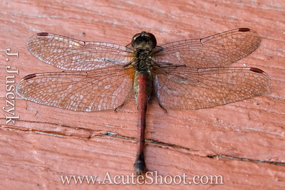 2011-10-15 Dragonfly on the back deck.