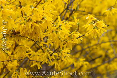 1st April 2012 Forsythia in full color in our yard.