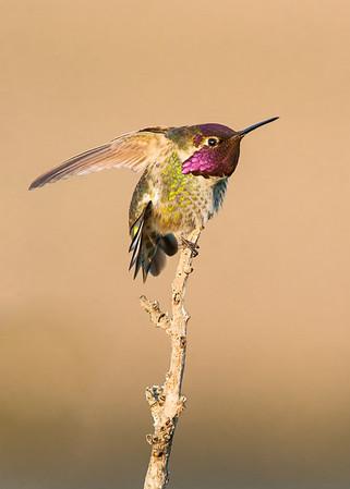 Found this male Anna Hummingbird at San Elijp Lagoon in North San Deigo. He likes to set on top of a bush.