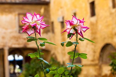 Summer Last Roses