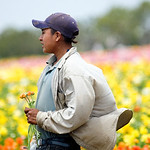 A flower picker in flower filed of Carlsbad, California