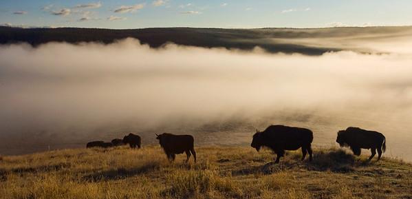 Hayden Valley morning, Bison in Yellowstone
